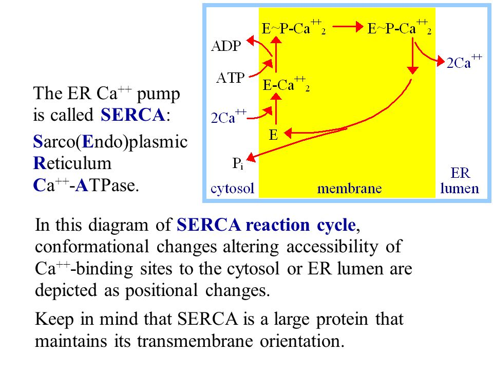 The ER Ca++ pump is called SERCA: