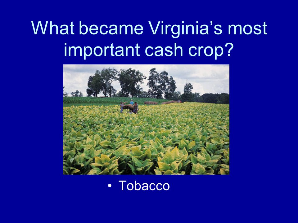 What became Virginia's most important cash crop