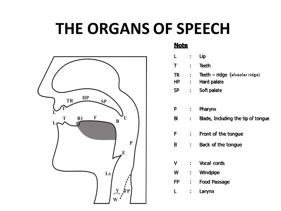 THE ORGANS OF SPEECH Note F Front of the tongue B Back of the tongue V