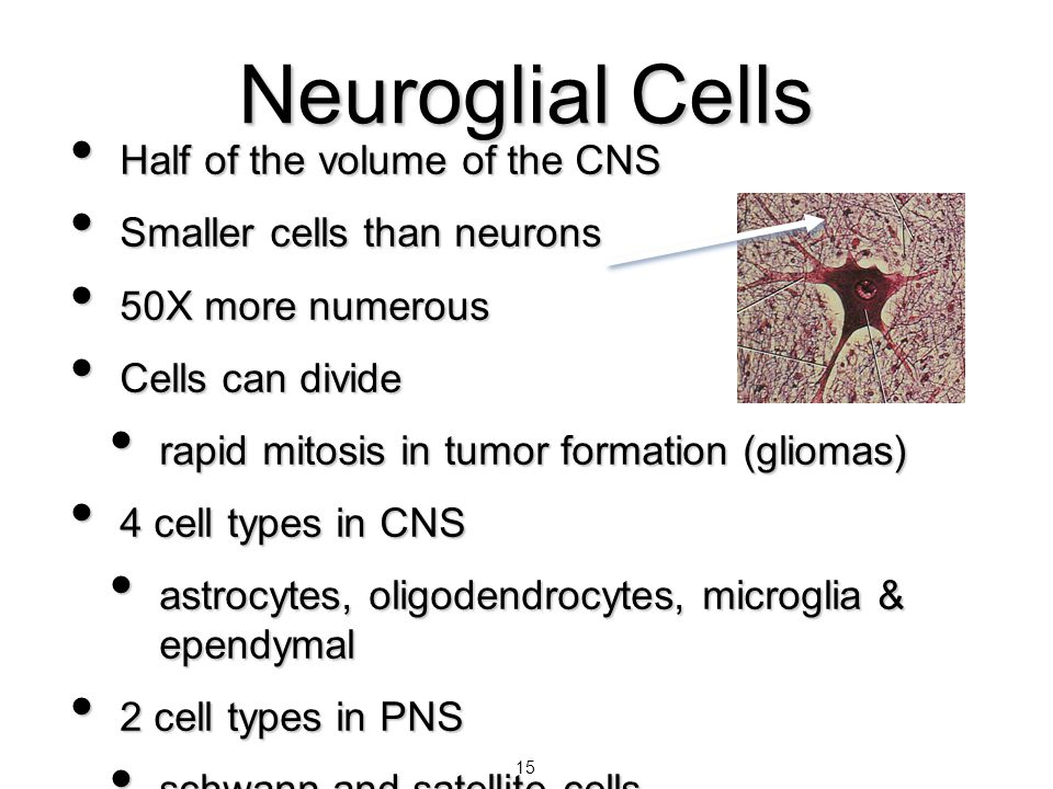 Neuroglial Cells Half of the volume of the CNS