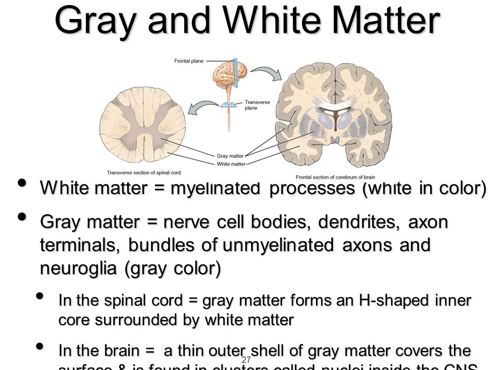Gray and White Matter White matter = myelinated processes (white in color)