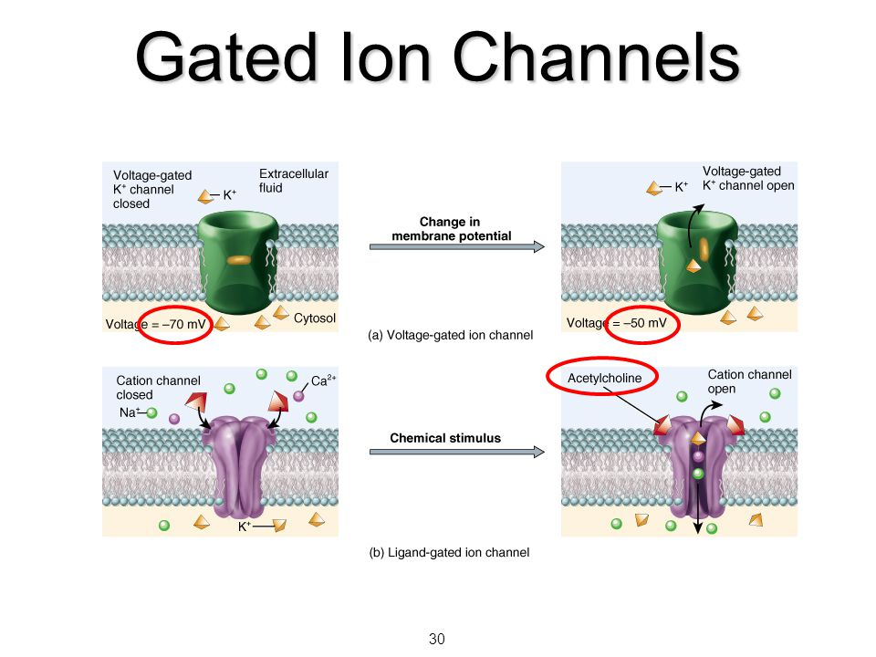 Gated Ion Channels 30