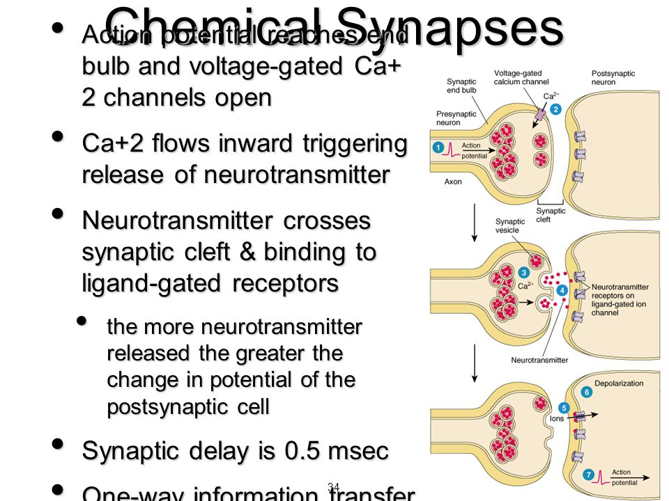 Chemical Synapses Action potential reaches end bulb and voltage-gated Ca+ 2 channels open.