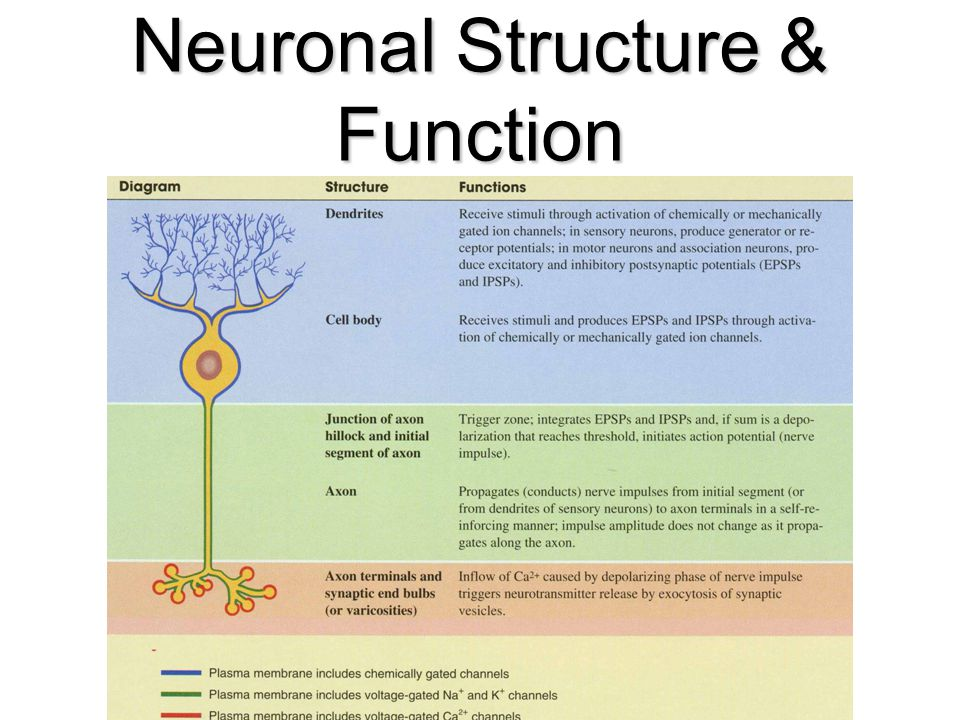 Neuronal Structure & Function