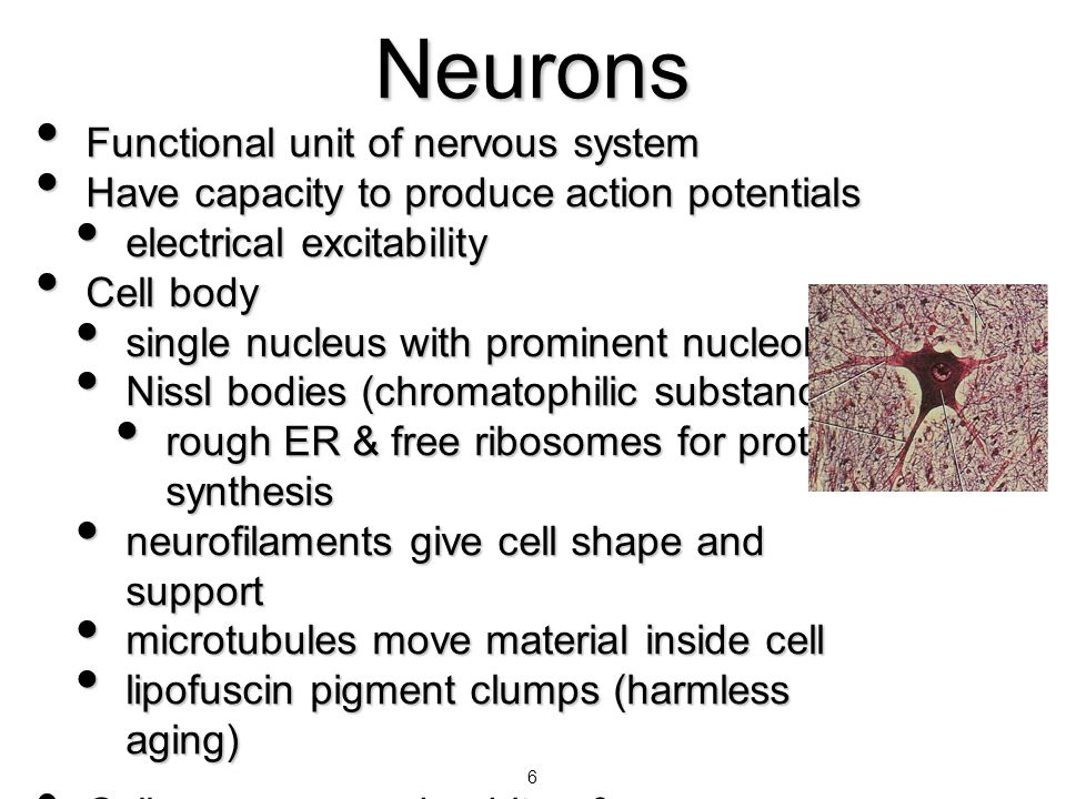Neurons Functional unit of nervous system