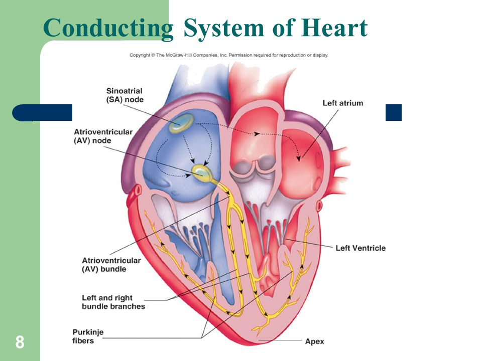 Conduction System Of The Heart Ppt Video Online Download