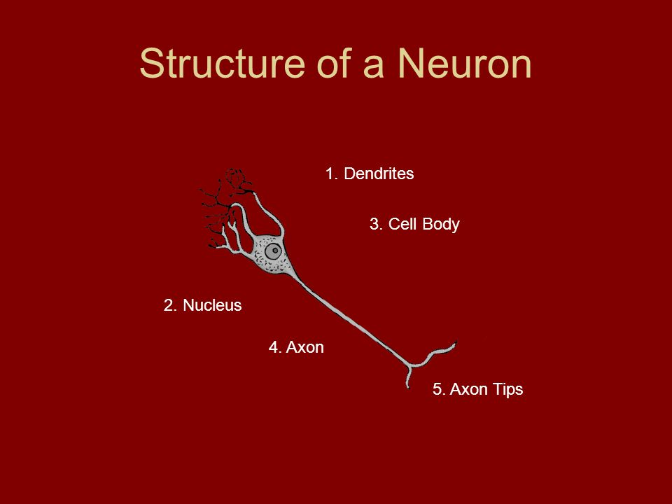 Structure of a Neuron 1. Dendrites 3. Cell Body 2. Nucleus 4. Axon