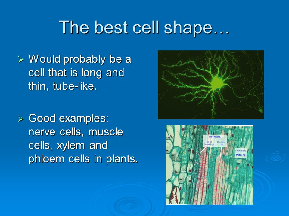 The best cell shape… Would probably be a cell that is long and thin, tube-like.