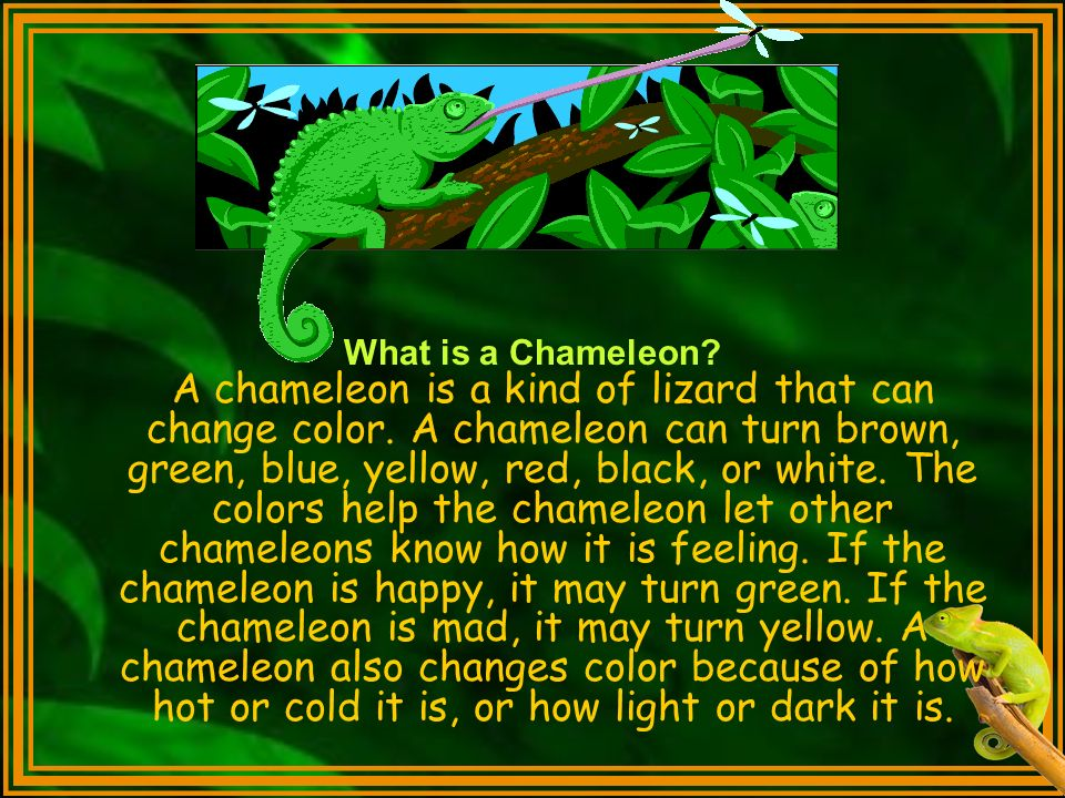 What is a Chameleon. A chameleon is a kind of lizard that can change color.