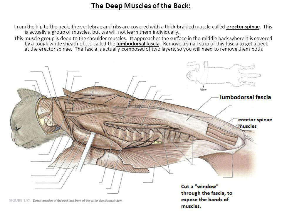 The Deep Muscles of the Back: