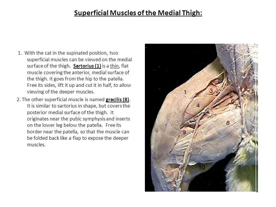 Superficial Muscles of the Medial Thigh: