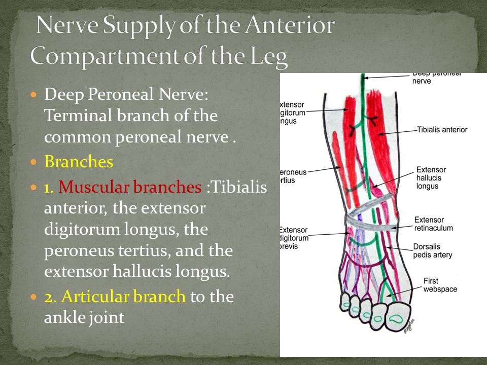 Nerve Supply of the Anterior Compartment of the Leg
