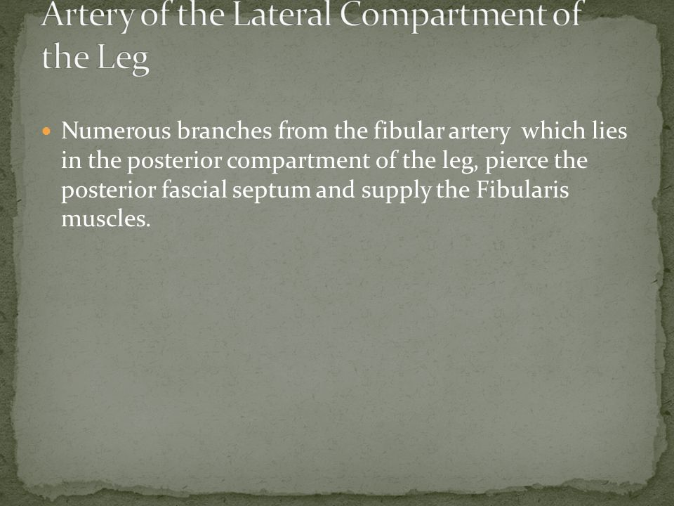 Artery of the Lateral Compartment of the Leg