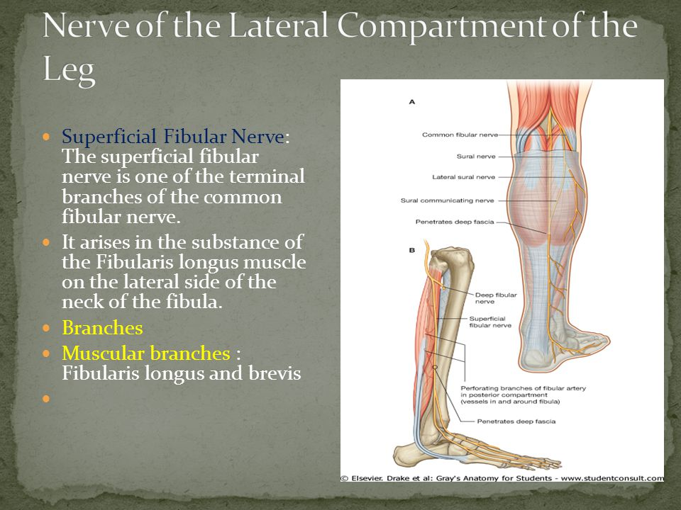 Nerve of the Lateral Compartment of the Leg