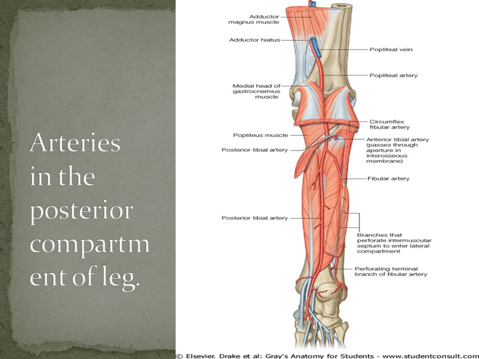 Arteries in the posterior compartment of leg.
