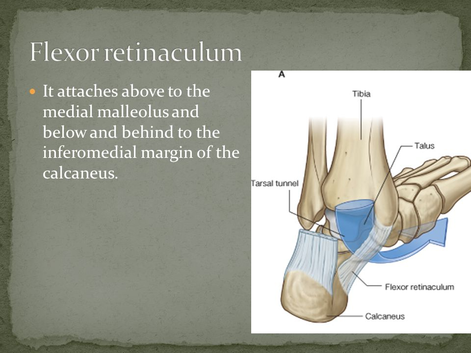 Flexor retinaculum It attaches above to the medial malleolus and below and behind to the inferomedial margin of the calcaneus.