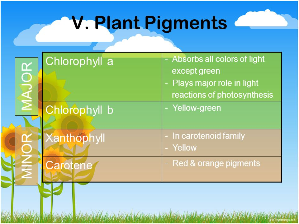 V. Plant Pigments MAJOR MINOR Chlorophyll a Chlorophyll b Xanthophyll