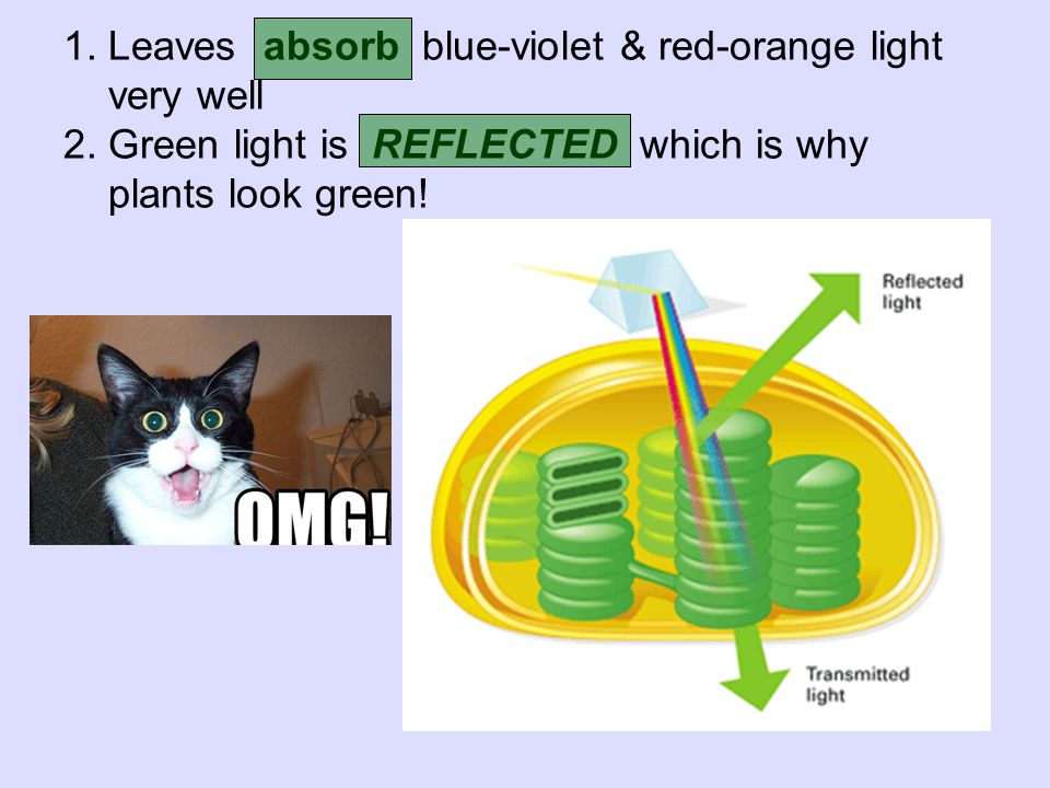 1. Leaves absorb blue-violet & red-orange light very well 2