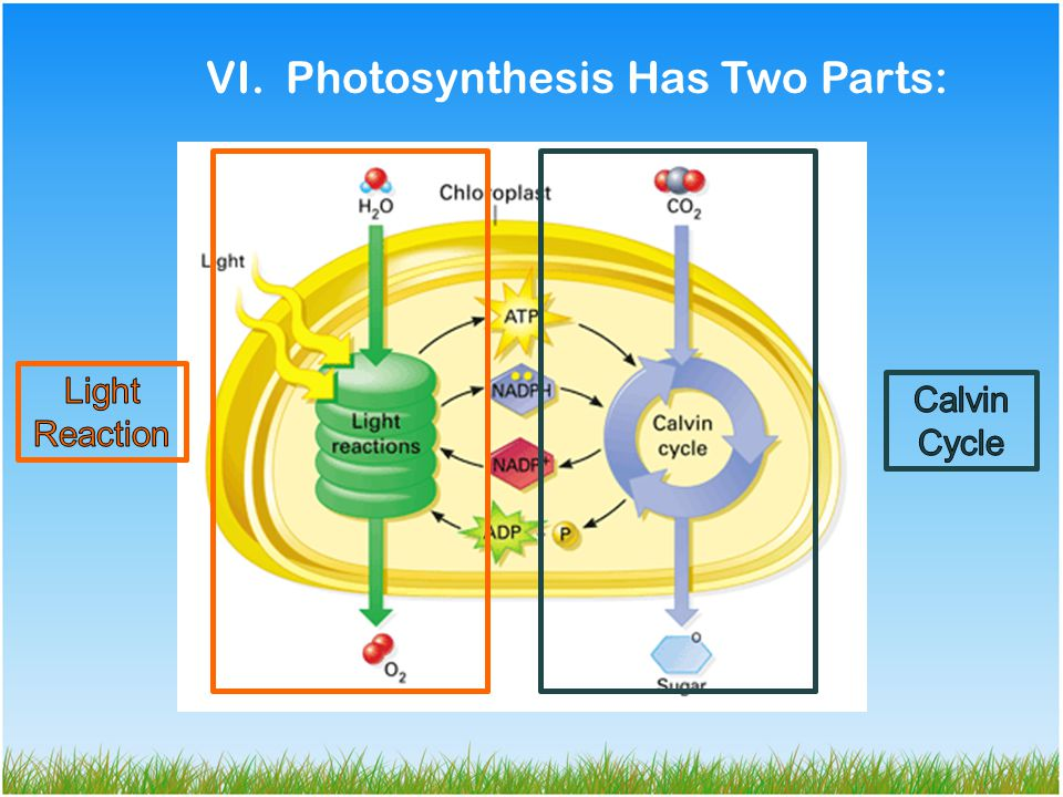 VI. Photosynthesis Has Two Parts: