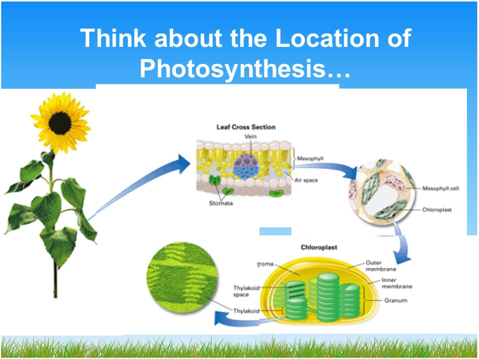 Think about the Location of Photosynthesis…