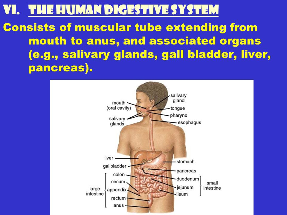 The Human Digestive System