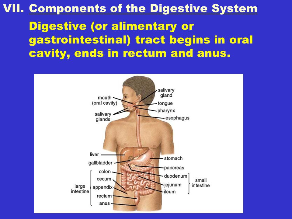 Components of the Digestive System