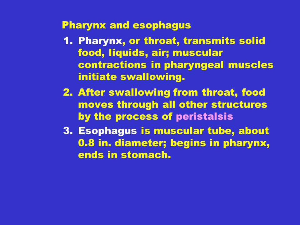 Pharynx and esophagus Pharynx, or throat, transmits solid food, liquids, air; muscular contractions in pharyngeal muscles initiate swallowing.