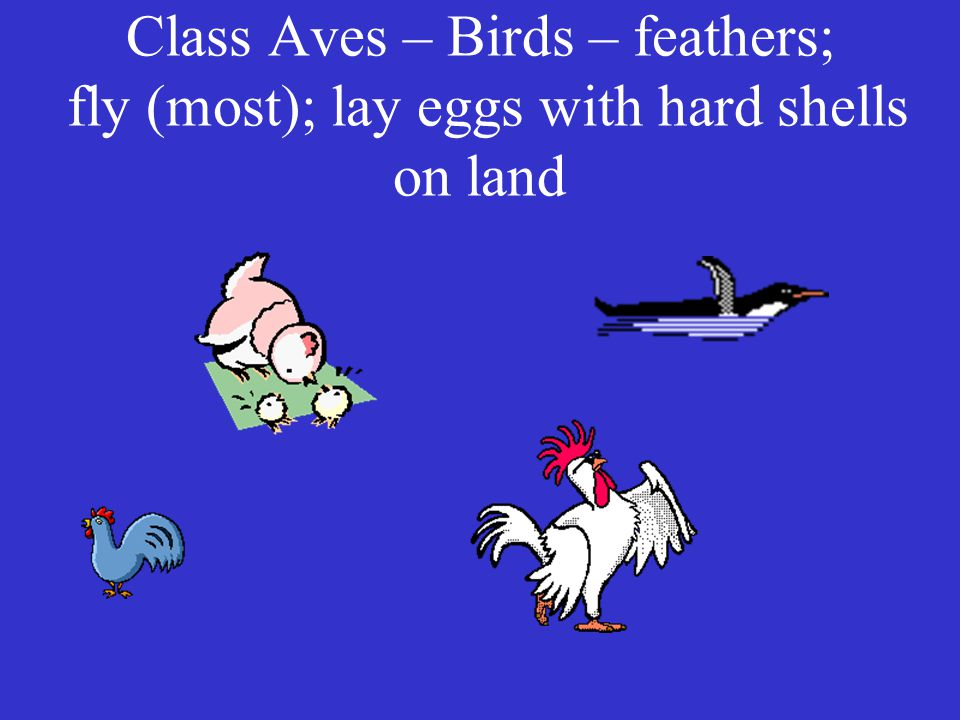 Class Aves – Birds – feathers; fly (most); lay eggs with hard shells on land