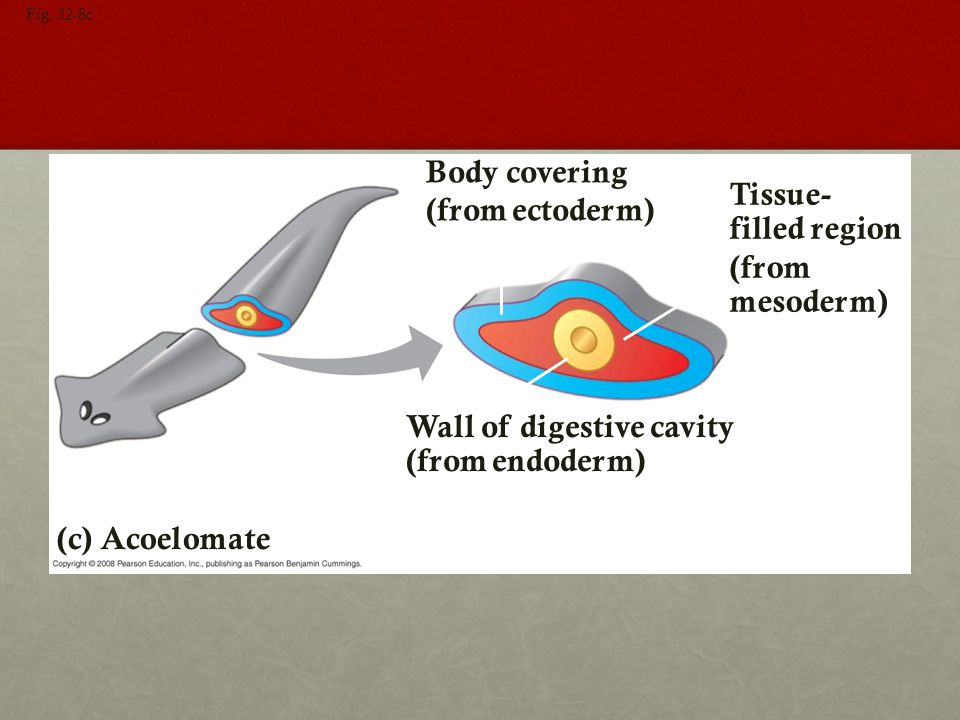 Wall of digestive cavity (from endoderm)