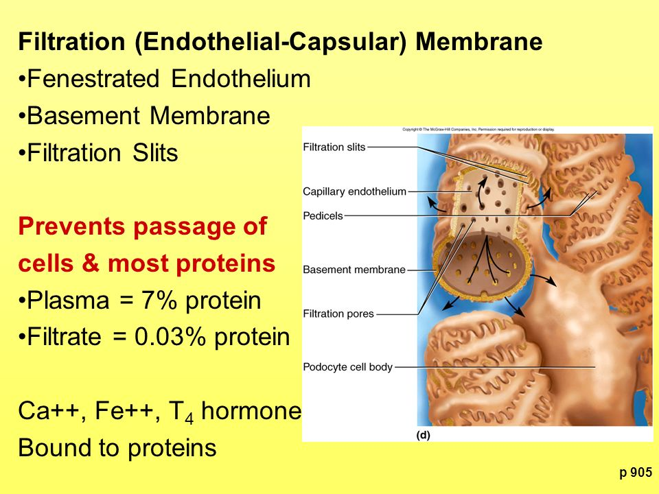 Filtration (Endothelial-Capsular) Membrane Fenestrated Endothelium