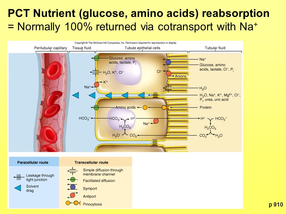 PCT Nutrient (glucose, amino acids) reabsorption = Normally 100% returned via cotransport with Na+