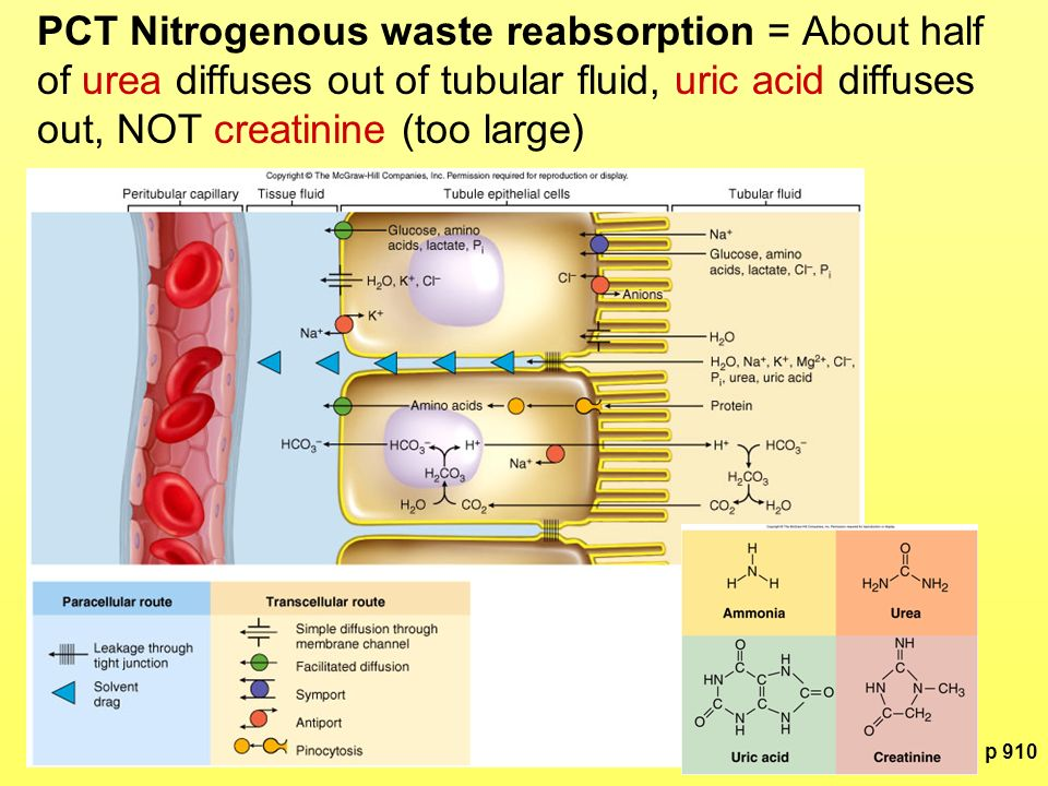 PCT Nitrogenous waste reabsorption = About half of urea diffuses out of tubular fluid, uric acid diffuses out, NOT creatinine (too large)