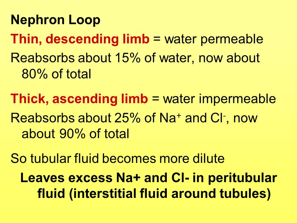 Nephron Loop Thin, descending limb = water permeable. Reabsorbs about 15% of water, now about 80% of total.