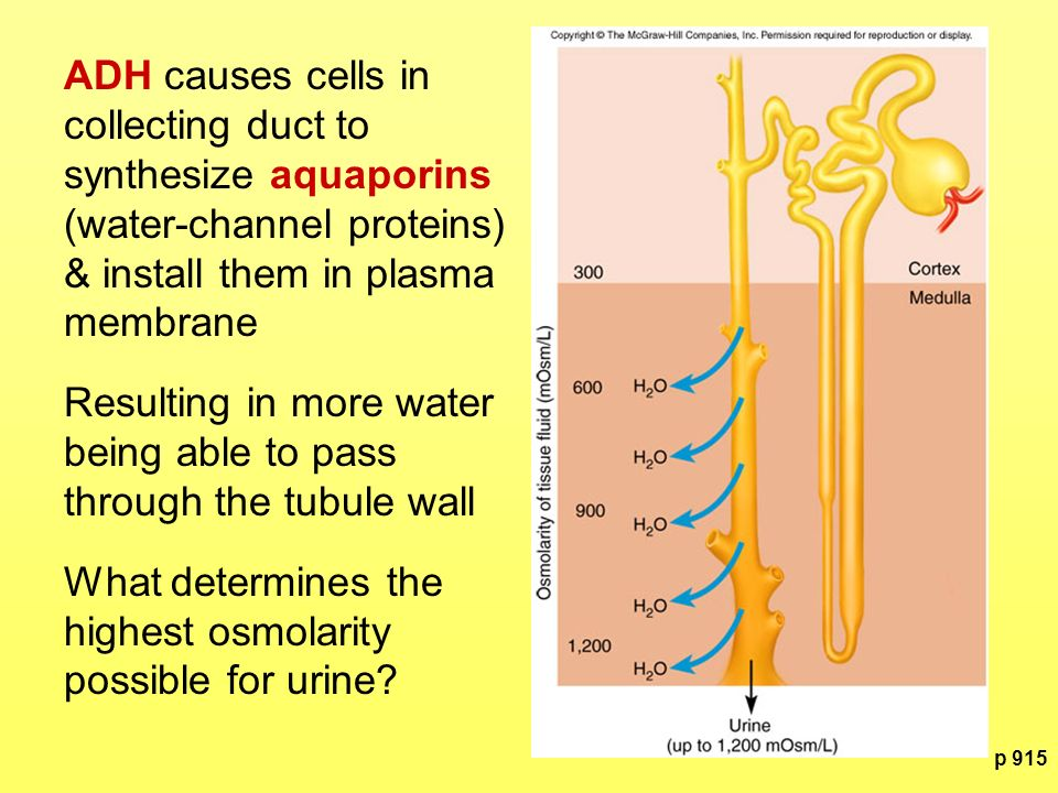 Resulting in more water being able to pass through the tubule wall