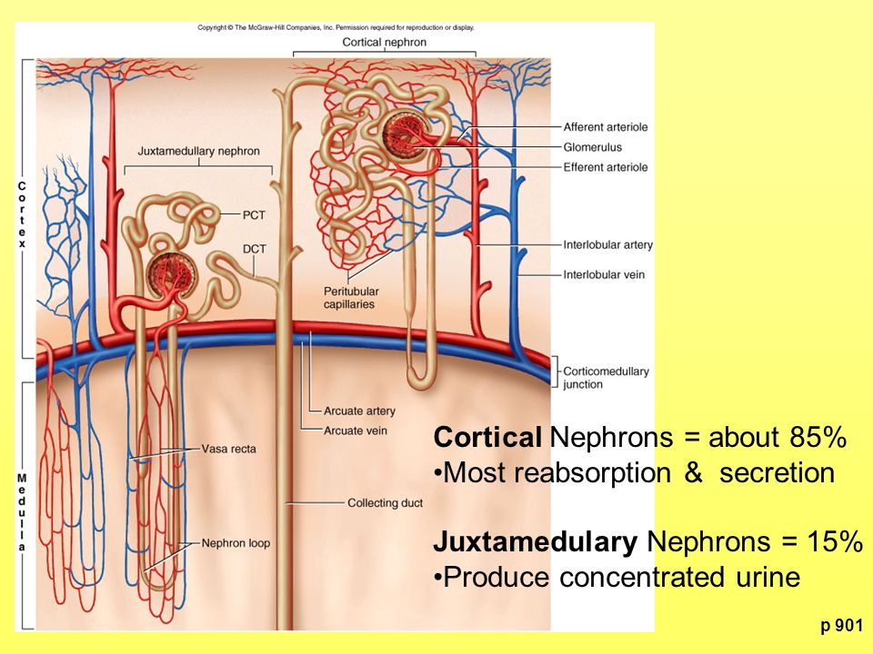 Cortical Nephrons = about 85% Most reabsorption & secretion