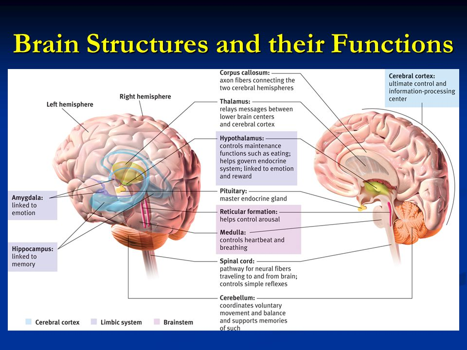 Unit 3 B B Older Brain Structures Ppt Download