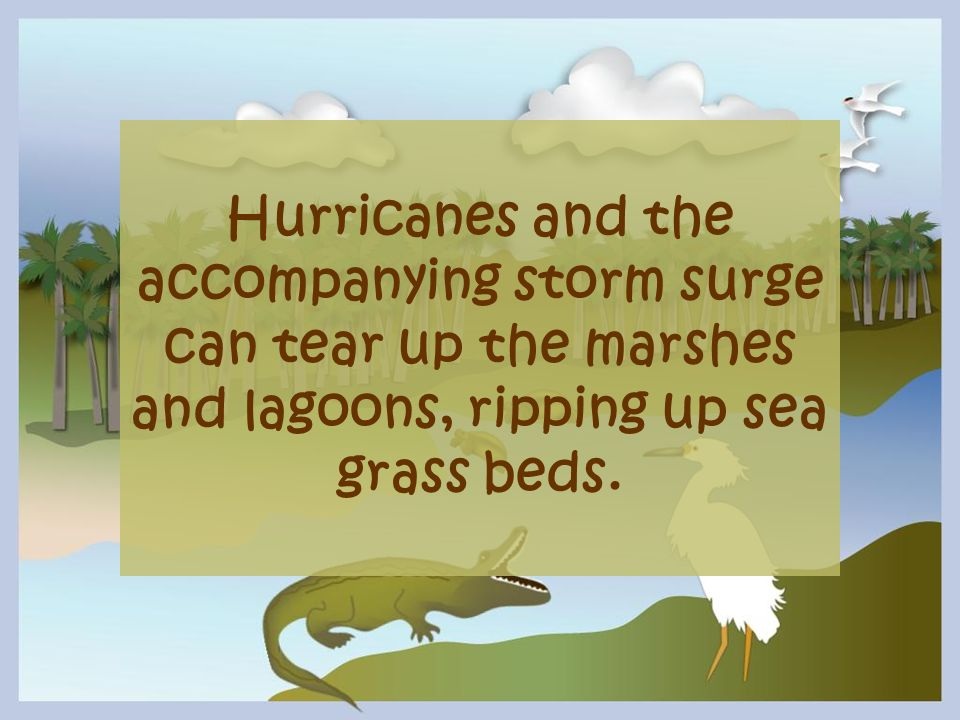 Hurricanes and the accompanying storm surge can tear up the marshes and lagoons, ripping up sea grass beds.