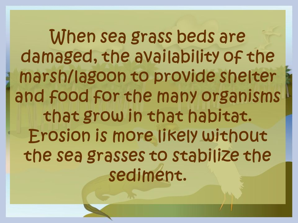 When sea grass beds are damaged, the availability of the marsh/lagoon to provide shelter and food for the many organisms that grow in that habitat.