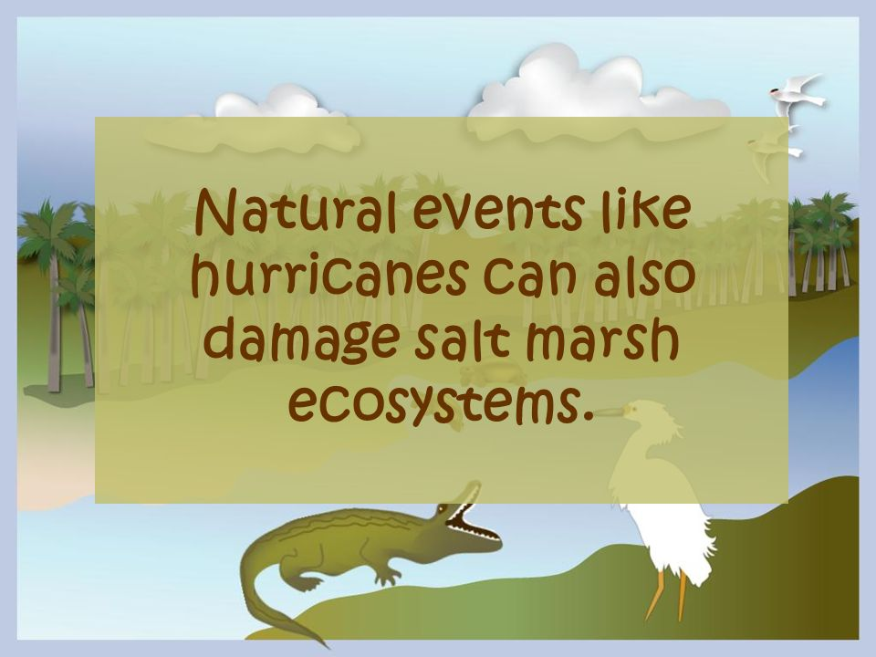 Natural events like hurricanes can also damage salt marsh ecosystems.