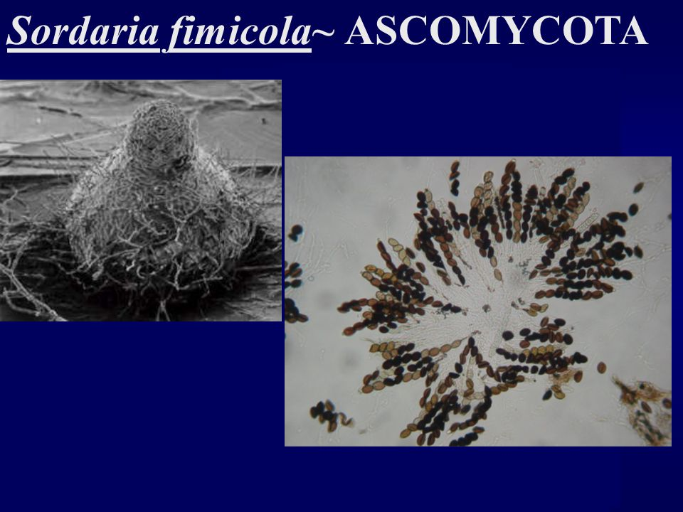 sordaria fimicola lab report