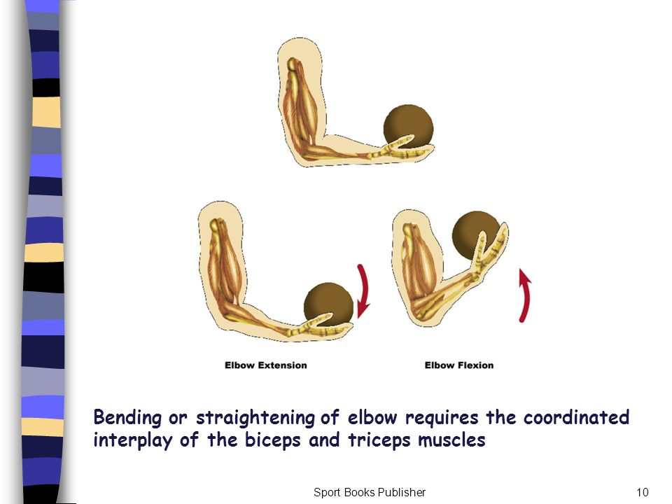 Bending or straightening of elbow requires the coordinated interplay of the biceps and triceps muscles