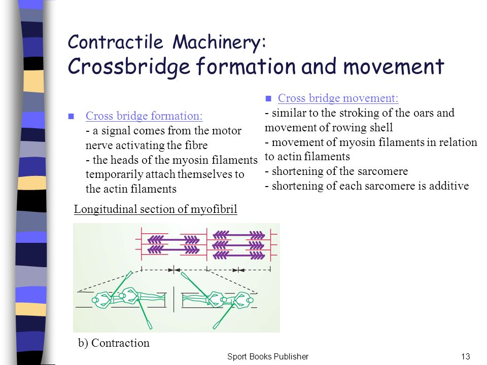 Contractile Machinery: Crossbridge formation and movement