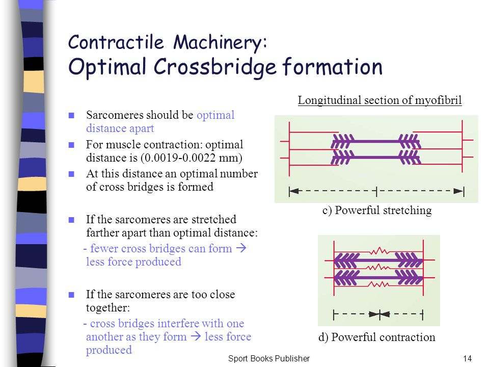 Contractile Machinery: Optimal Crossbridge formation
