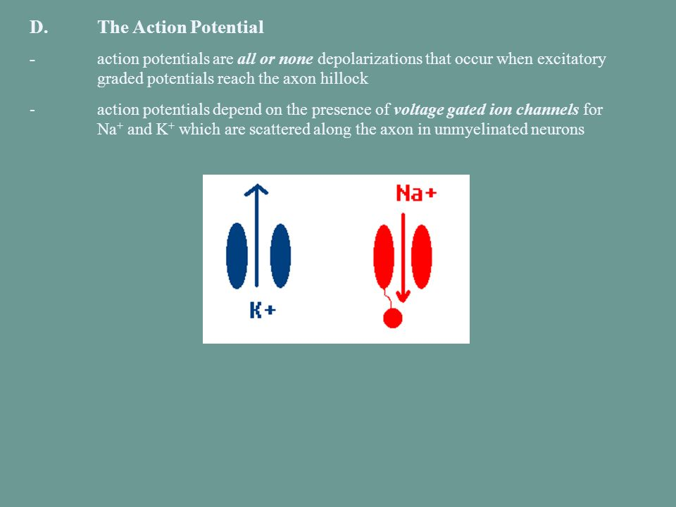D. The Action Potential - action potentials are all or none depolarizations that occur when excitatory graded potentials reach the axon hillock.