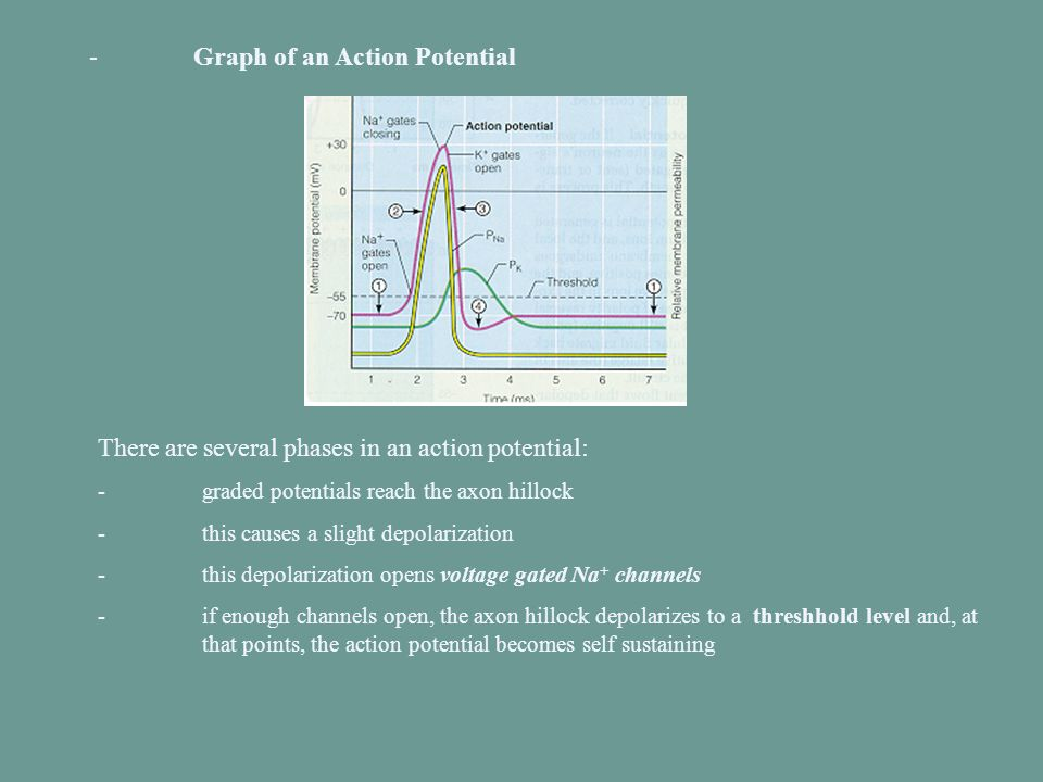 - Graph of an Action Potential