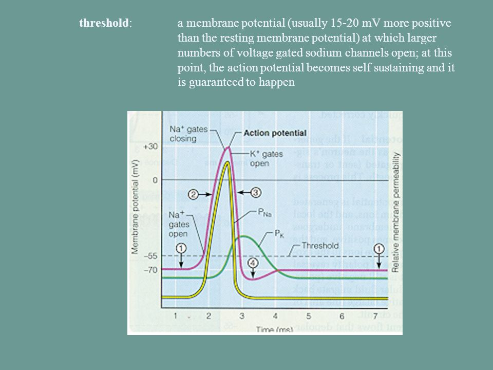 threshold:. a membrane potential (usually 15-20 mV more positive