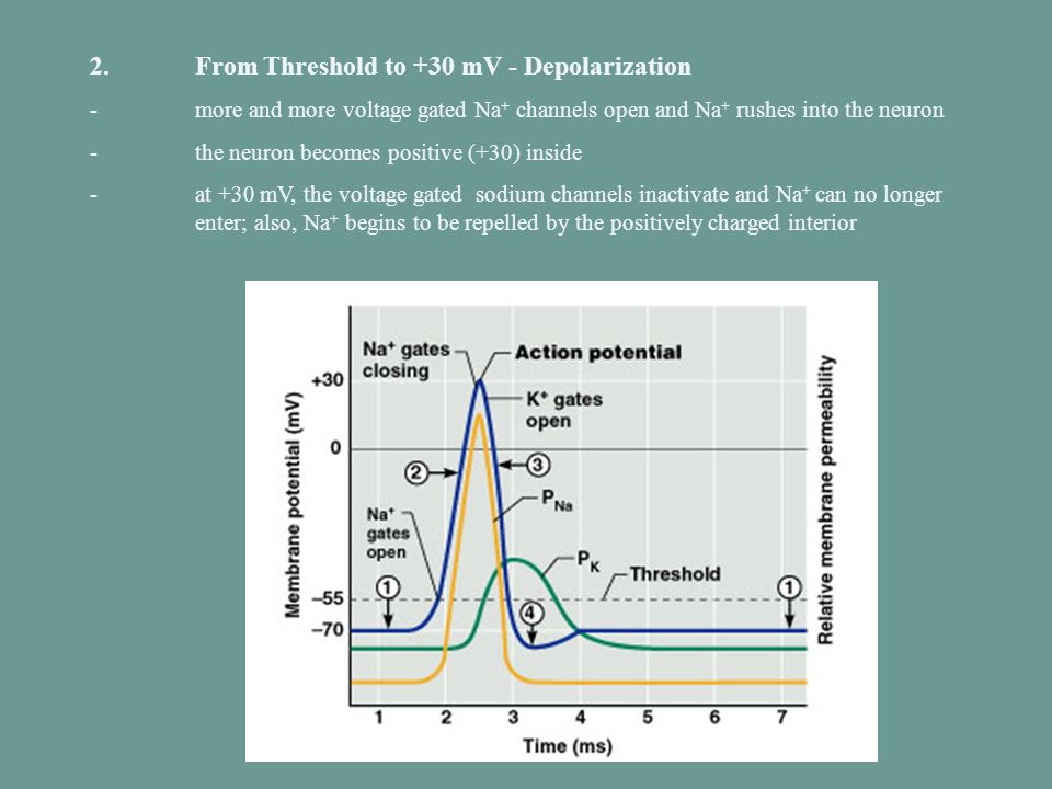 2. From Threshold to +30 mV - Depolarization