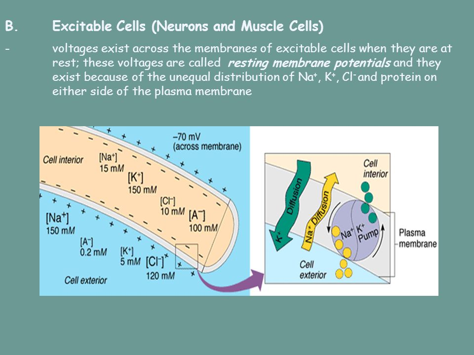 B. Excitable Cells (Neurons and Muscle Cells)