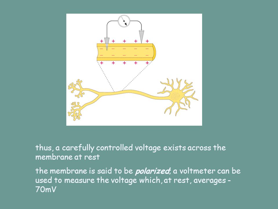 thus, a carefully controlled voltage exists across the membrane at rest