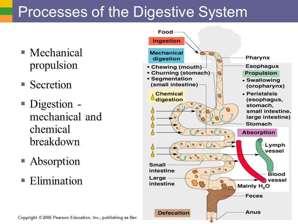 The Digestive System And Body Metabolism Ppt Download